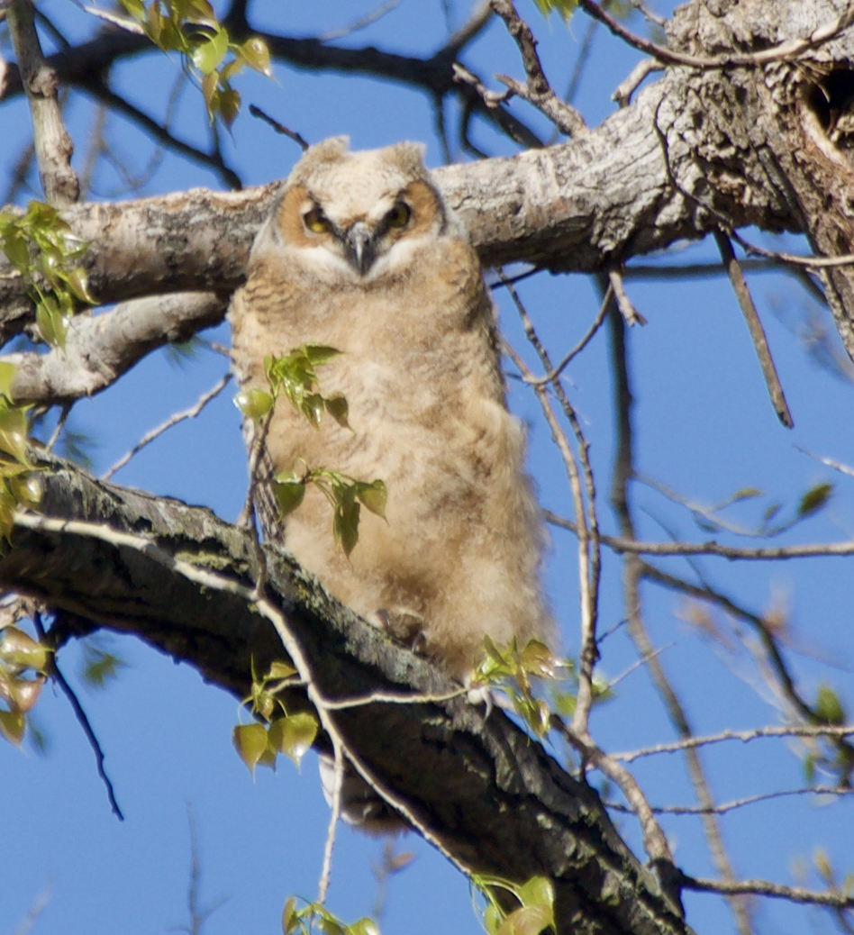 owlet day before fledged
